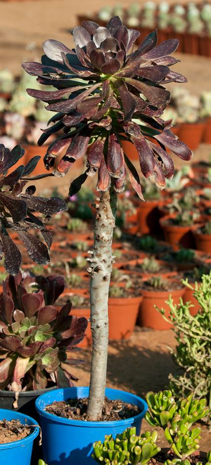 Succulent28