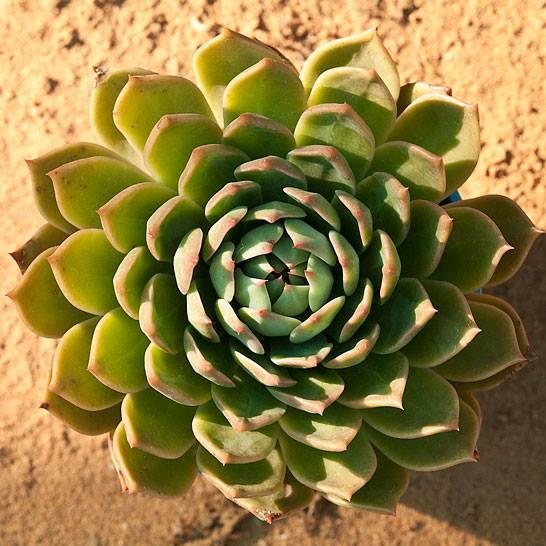Succulent14