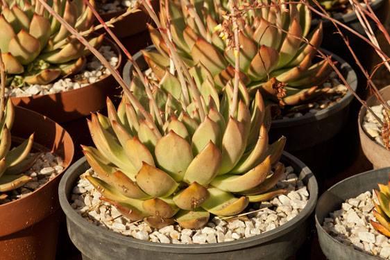 Succulent22