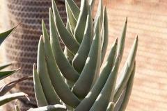 Succulent47