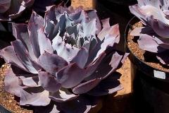 Succulent9