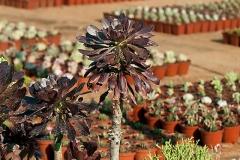 Succulent16