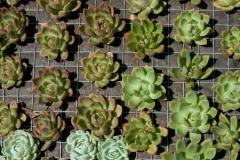 Succulent18