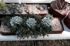 Succulent21
